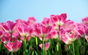 Pink-Tulips-Spring-640x400